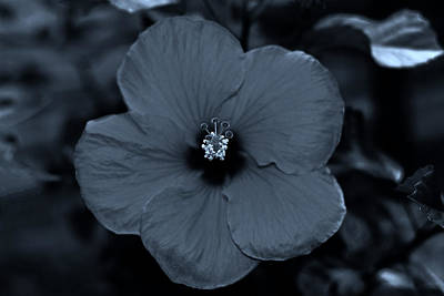 Photograph - Silky Blue Hibiscus Flower by Connie Fox