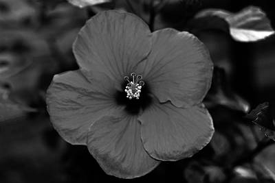 Photograph - Silky Hibiscus Flower B W Macro by Connie Fox