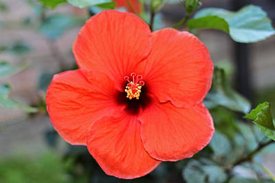 Photograph - Silky Red Hibiscus Flower by Connie Fox