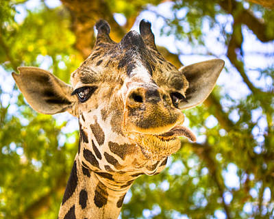 Photograph - Silly Faced Giraffe by Mark E Tisdale
