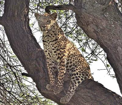 Photograph - Silly Leopard by Bruce W Krucke