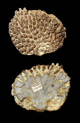 Anthozoa Photograph - Silurian Coral Fossil by Natural History Museum, London