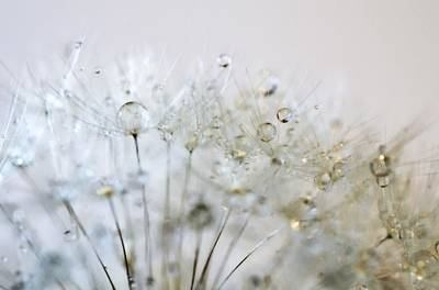 Dandelion Photograph - Silver And Gold by Marianna Mills
