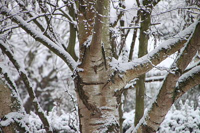 Photograph - Silver Birch by Elizabeth Lock