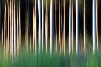 Photograph - Silver Birch Saplings And Scots Pine by James Warwick