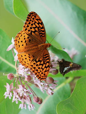 Photograph - Silver Bordered Fritillary And Silver Spotted Skipper Butterflies On Milkweed by John Burk
