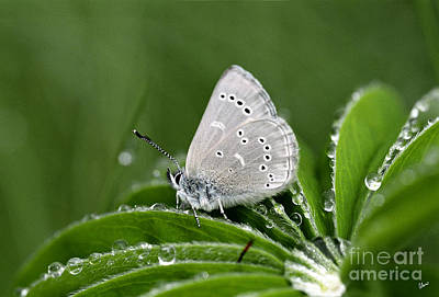 Photograph - Silver Butterfly by Alana Ranney