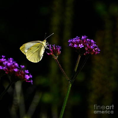 Photograph - Silver Butterfly Purple Flower by Byron Varvarigos