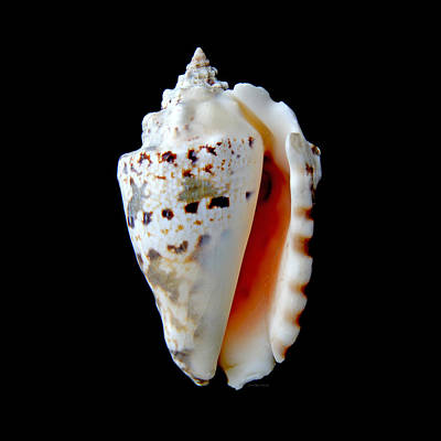 Photograph - Silver Conch Seashell by Jennie Marie Schell