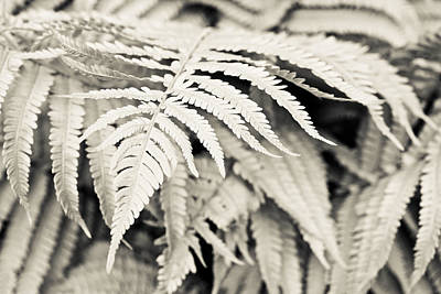 Photograph - Silver Fern by Priya Ghose