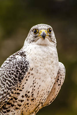 Photograph - Silver Gerfalcon by Teri Virbickis