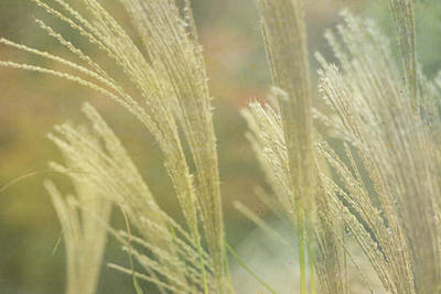 Photograph - Silver Grass by Beverly Claire Kaiya