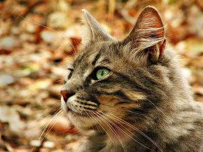 Photograph - Silver Grey Tabby Cat by Michelle Wrighton
