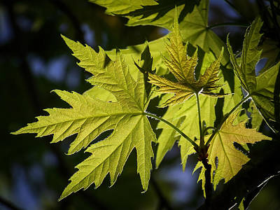 Leaf Photograph - Silver Maple by Ernie Echols