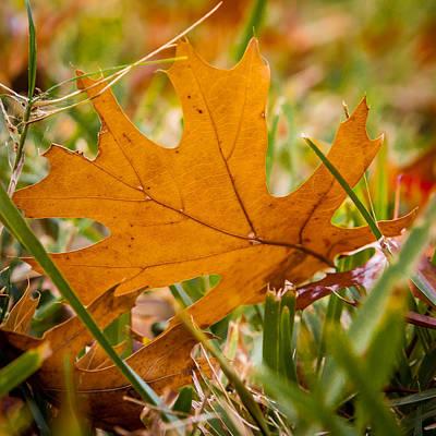 Photograph - Silver Oak Leaf by Melinda Ledsome