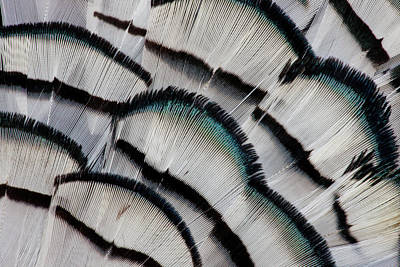 Silver-colored Photograph - Silver Pheasant Feather Fan Design by Darrell Gulin
