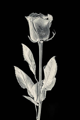 Unique Wall Art Photograph - Silver Rose by Adam Romanowicz