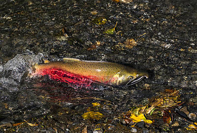 Silver Salmon Spawning Art Print