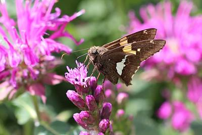 Photograph - Silver Spotted Skipper by Lucinda VanVleck