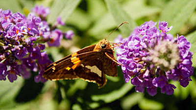 Photograph - Silver Spotted Skipper by Michael Porchik