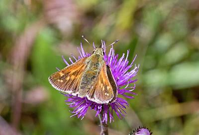 Silver-spotted Skipper On Thistle Flower Art Print by Bob Gibbons