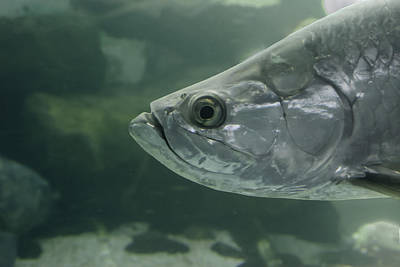 Photograph - Silver Tarpon by Gene Norris