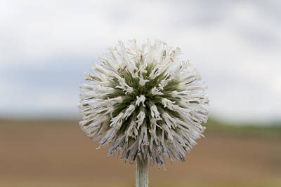 Photograph - Silver Thistle by Andreas Levi