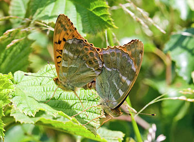Silver-washed Fritillary Butterflies Art Print
