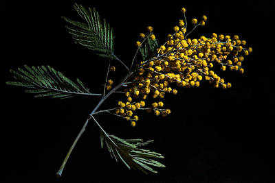 Mimosa Flowers Photograph - Silver Wattle Flowers by Alexander Senin