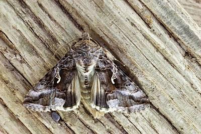 Silver Y Moth Print by David Aubrey