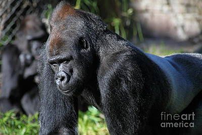 Photograph - Silverback Gorilla 5d27057 by Wingsdomain Art and Photography