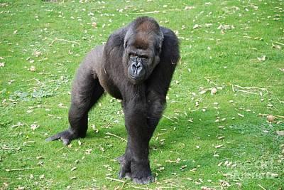 Photograph - Silverback Gorilla by David Fowler