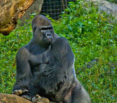 Photograph - Silverback Gorilla  by Jonny D