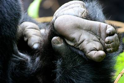 Photograph - Silverback Grooming 2 by David Beebe