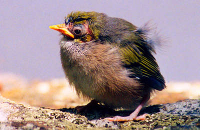 Photograph - Silvereye Chick by David Rich
