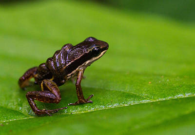 Frogs Photograph - Silverstonia Flotator With Tadpoles by JP Lawrence