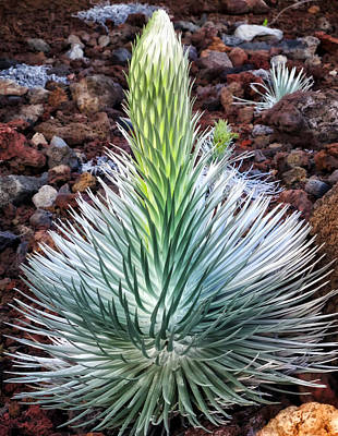 Photograph - Silversword 4 by Dawn Eshelman