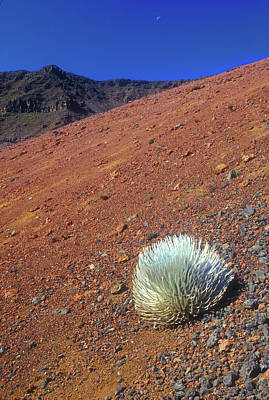 Photograph - Silversword Haleakala Crater Maui Hawaii by John Burk