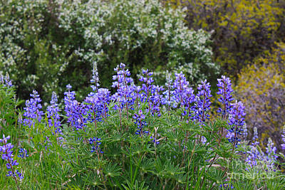 Art Print featuring the photograph Silvery Lupine Black Canyon Colorado by Janice Rae Pariza