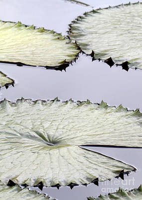 Photograph - Silvery Sage Green Lily Pads by Sabrina L Ryan