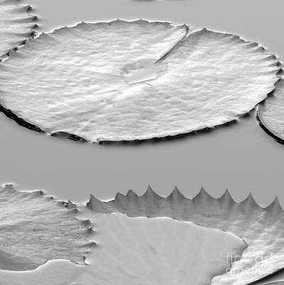 Photograph - Silvery Wet Lily Pads #10 by Sabrina L Ryan