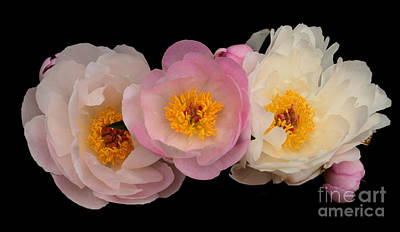 Wall Art - Photograph - Silvia Saunders Peonies by Susan Montgomery