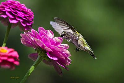 Photograph - Simple Pleasure Hummingbird Delight by Christina Rollo