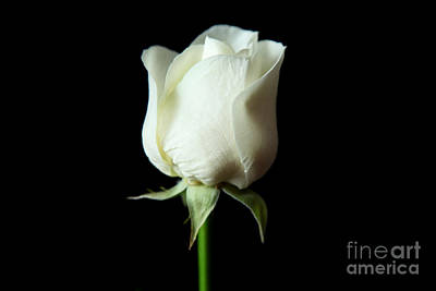 Photograph - Simple White Rose by Eden Baed