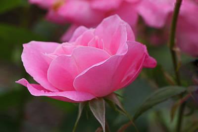 Photograph - Simplicity Floribunda Rose by Allen Beatty
