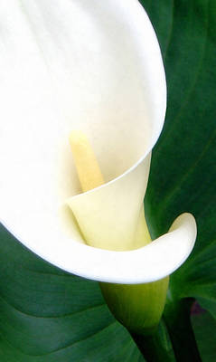 Lilies Mixed Media - Simply Calla Lily by Angelina Vick