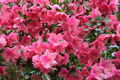 Photograph - Simply Beautiful Pink Azaleas by Carol Groenen