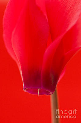 Cyclamen Photograph - Simply Red by Anne Gilbert