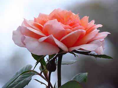 Photograph - Simply Rose  by Carol Montoya