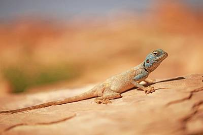 Sinai Photograph - Sinai Agama (pseudotrapelus Sinaitus) by Photostock-israel